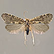 <i>Pseudobankesia keersmaekersi</i> sp. n., a new species from Greece (Lepidoptera, Psychidae, Taleporiinae)