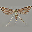 A new species of <i>Platyptilia</i> Hübner, 1825 (Lepidoptera, Pterophoridae) from Europe
