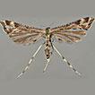 A new species of Platyptilia Hübner,  ...