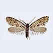 Bankesia desplatsella Nel, 1999 (Lepidoptera, ...
