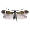 A new pygmy leafmining moth, Stigmella ...