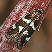 Two European Cornus L. feeding leafmining ...