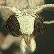Acteniopsis gambronensis sp. n. (Pyralidae: ...