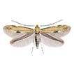 Bucculatrix brunnella sp. n. (Lepidoptera, ...
