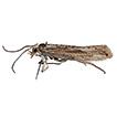Plutella polaris Zeller, 1880 (Lepidoptera, ...