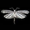 A new species of Ypsolopha Latreille ...