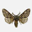 Biston rosenbaueri sp. n. (Lepidoptera, ...