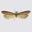 Holcophora Staudinger, 1871, a senior ...