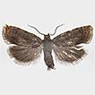 Dichrorampha carpatalpina sp. n. (Lepidoptera, ...