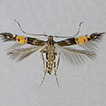 The Eastern Palaearctic Cosmopterix feminella ...
