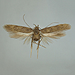 Two new species of Spiniphallellus Bidzilya ...
