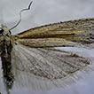 A new species of Crocidosema Zeller (Lepidoptera, ...