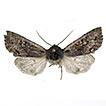 A new Orthosia Ochsenheimer, 1816 species ...