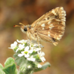 The distribution and status of Sage Skipper ...