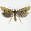 Phtheochroa carpatiana sp. nov. (Lepidoptera, ...