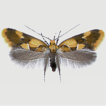 Notes on the little-known species Epicallima ...