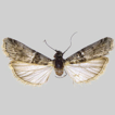 A new species of Elegia (Lepidoptera, ...
