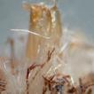 Adaina jobimi sp. nov., a plume moth ...