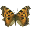 Long-distance dispersal of migrant butterflies ...