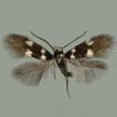Antispilina ludwigi Hering, 1941 (Lepidoptera, ...