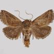 Description of Striogyia simianshana ...