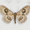 Systematics of Problepsis wiltshirei ...
