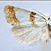 <i>Phtheochroa unionana</i> (Kennel, 1900) recognised as a dimorphic Cochylini species, with description of the hitherto unknown male genitalia (Lepidoptera, Tortricidae)