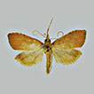 <i>Udea ruckdescheli</i> sp. n. from Crete and its phylogenetic relationships (Pyraloidea, Crambidae, Spilomelinae)