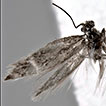 <i>Catapterix tianshanica</i> sp. n. – the second species of the genus from the Palaearctic Region (Lepidoptera, Acanthopteroctetidae)