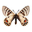 Phylogeography of <i>Koramius charltonius</i> (Gray, 1853) (Lepidoptera: Papilionidae): a case of too many poorly circumscribed subspecies