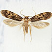 <i>Borkhausenia crimnodes</i> Meyrick, 1912 (Lepidoptera, Oecophoridae), a southern hemisphere species resident in Portugal