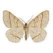 The biology and preimaginal morphology of Italian endemic species <i>Isturgia sparsaria</i> (Hübner, 1809) (Lepidoptera, Geometridae)