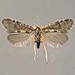 <i>Pseudobankesia keersmaekersi</i> sp. n., a new species from Greece (Lepidoptera, Psychidae, Taleporiinae)