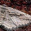Revision of the West-Mediterranean geometrid genus <i>Ekboarmia</i>, with description of a new species from Portugal (Lepidoptera, Geometridae, Ennominae)