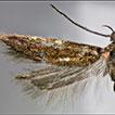 A new species of the genus <i>Spiniphallellus</i> Bidzilya &amp; Karsholt, 2008 (Lepidoptera, Gelechiidae, Anomologini)