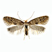 <i>                            Taleporia henderickxi           </i> sp. n., a new psychid species of the subfamily Taleporiinae from Crete (Lepidoptera, Psychidae)