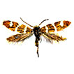 A new species of <i>Micropterix</i> Hübner, 1825 from Lebanon (Lepidoptera: Micropterigidae)
